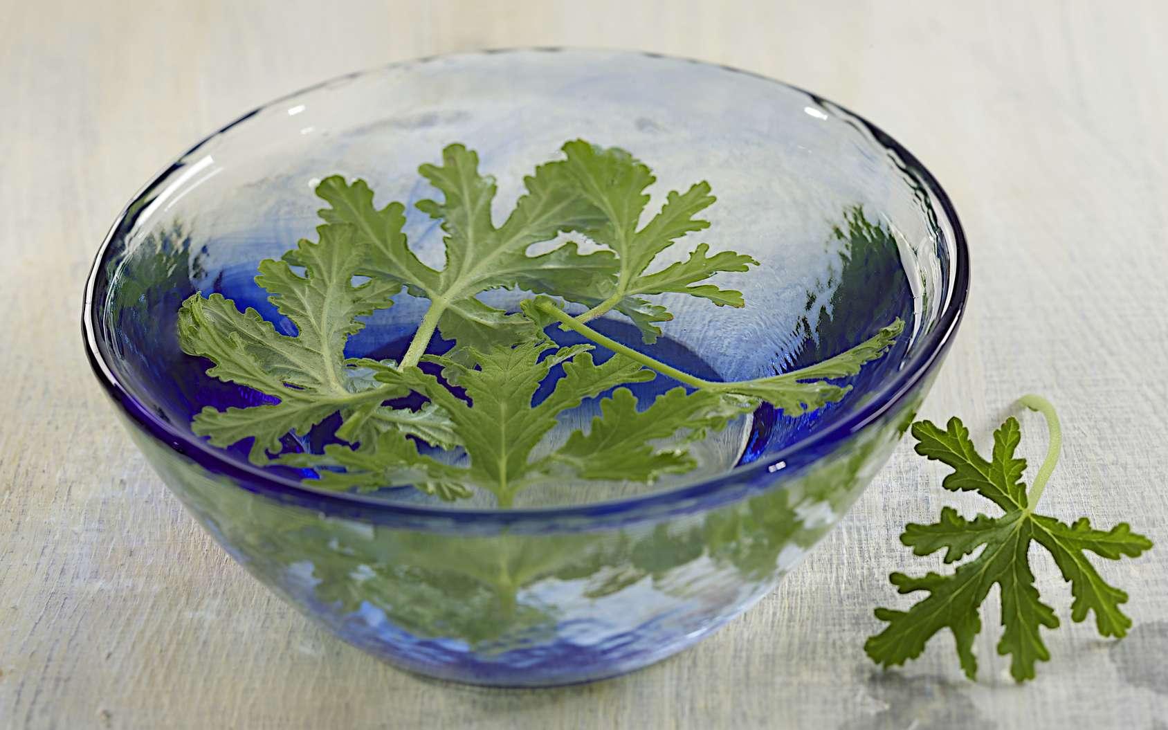 Les feuilles fraîches de géranium américain, soigneusement nettoyées, puis hachées forment un remède médicinal contre les brûlures et les hémorragies externes. © JPC-Prod, Fotolia