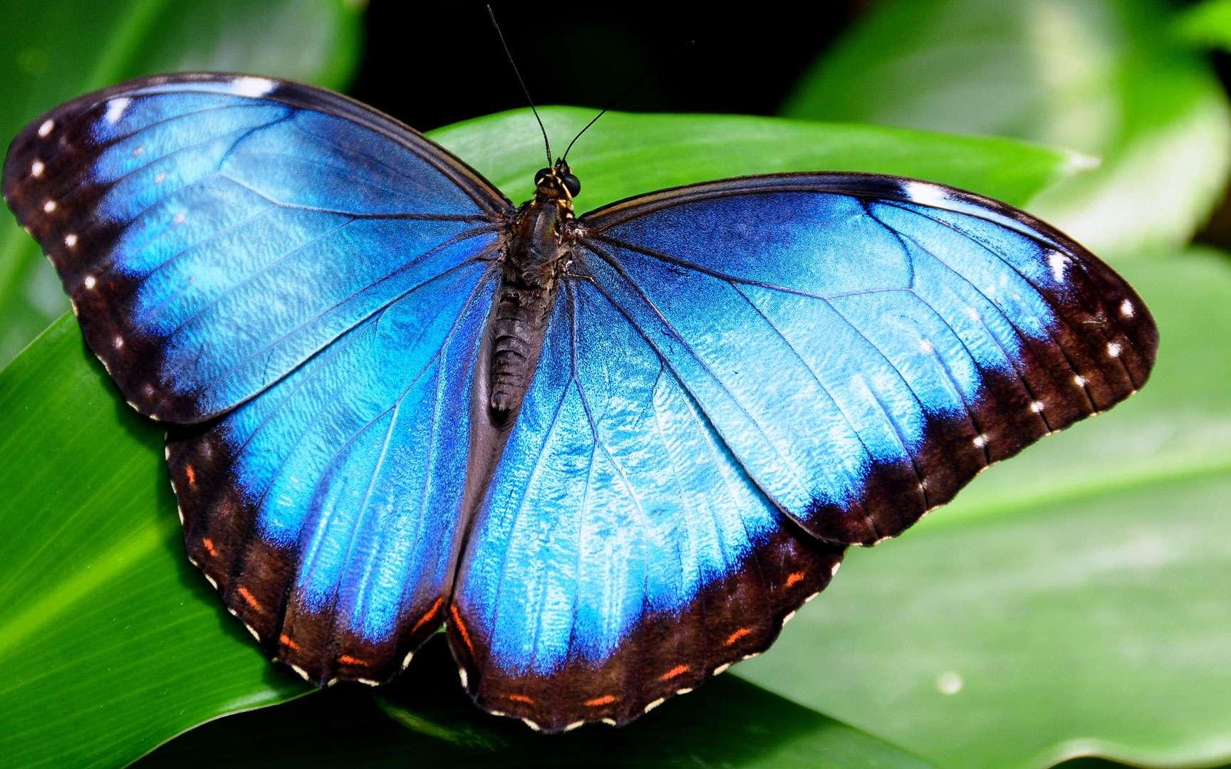 """Résultat de recherche d'images pour """"papillon morpho"""""""