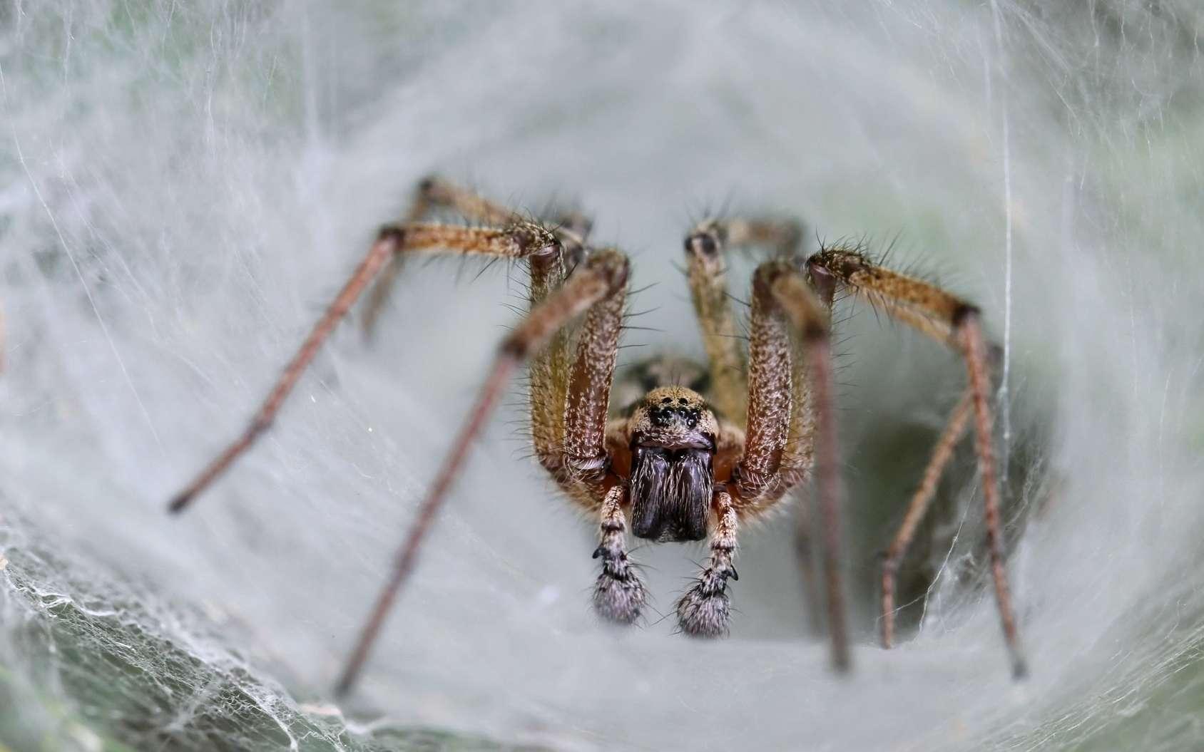 Le venin provenait d'une araignée à toile-entonnoir, dont le nom est lié à la forme de sa toile. © butterfly-photos.org, Fotolia