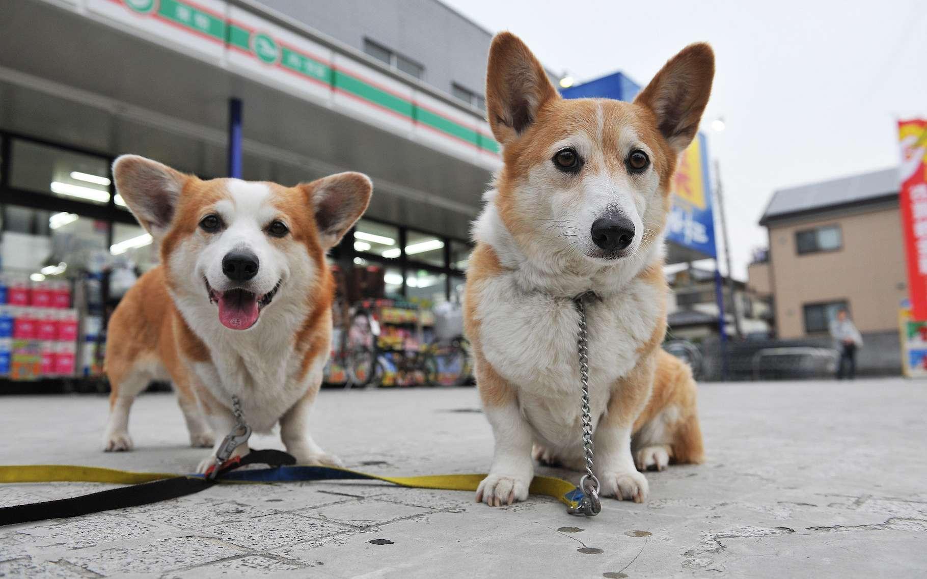 Les chiens augmentent la probabilité d'être infecté par le SARS-CoV-2. © luckyno3, Flickr