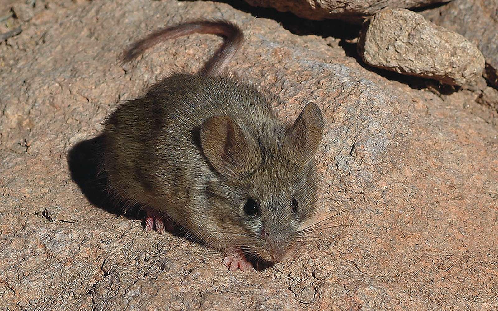 La petite souris à oreilles jaunes (Phyllotis xanthopygus) a été aperçue en février 2020 à 6.739 mètres sur les pentes du volcan Llullaillaco, l'un des endroits les plus hostiles au monde. © Guillermo Feuerhake, Flickr