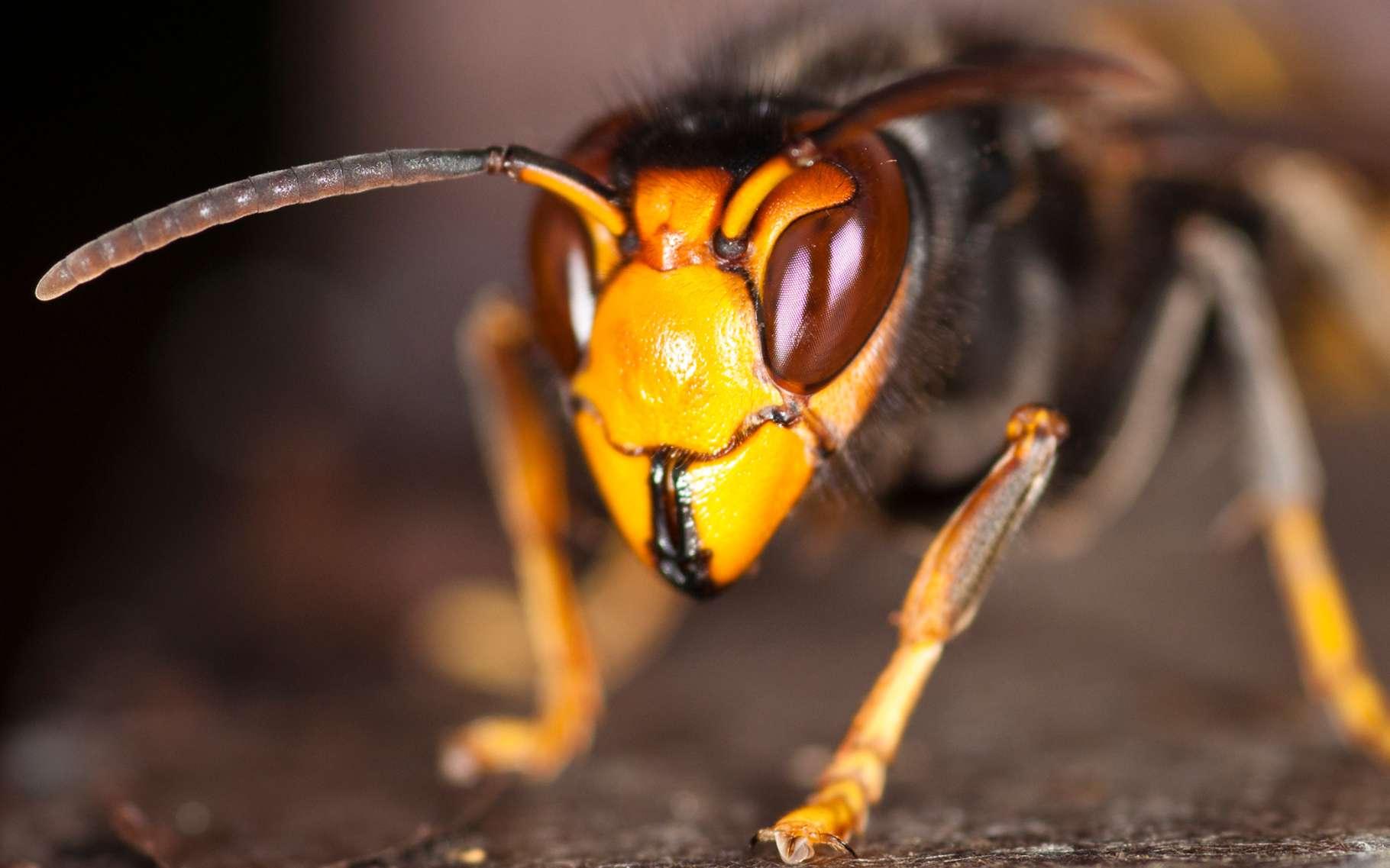Frelon asiatique (Vespa velutina). Cette espèce dite invasive pose des problèmes de santé humaine, économiques et environnementaux. © Danel Solabarrieta, Wikimedia Commons, CC by-sa 2.0