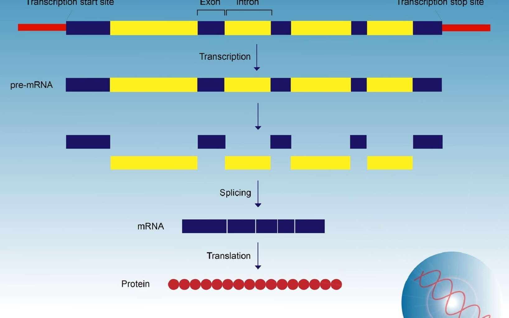 L'épissage est une étape de maturation de l'ARN prémessager en ARNm. © meletver, Fotolia