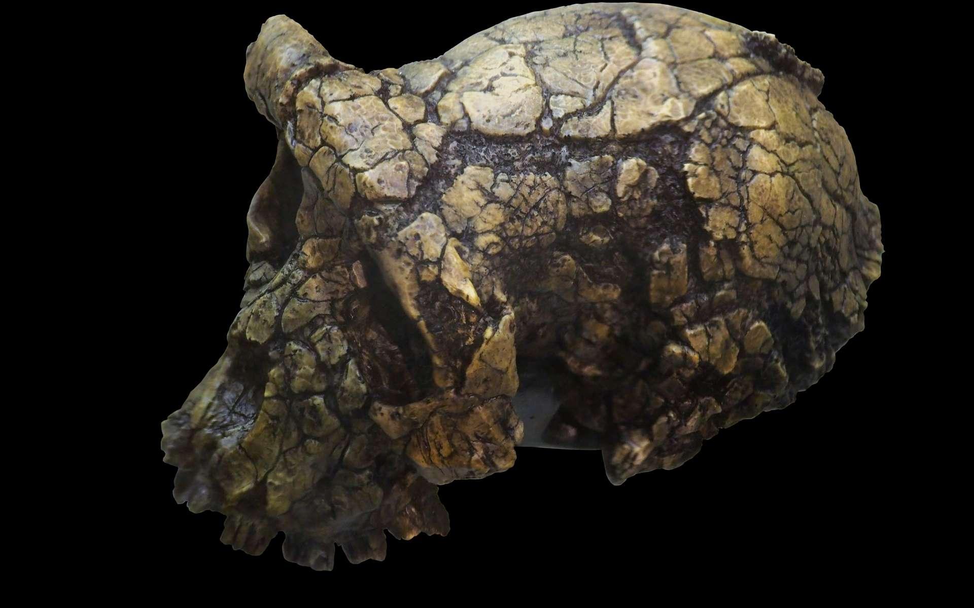 Moulage du crâne de Toumaï, un spécimen fossile appartenant à l'espèce Sahelanthropus tchadensis. © Rama, Wikimedia Commons