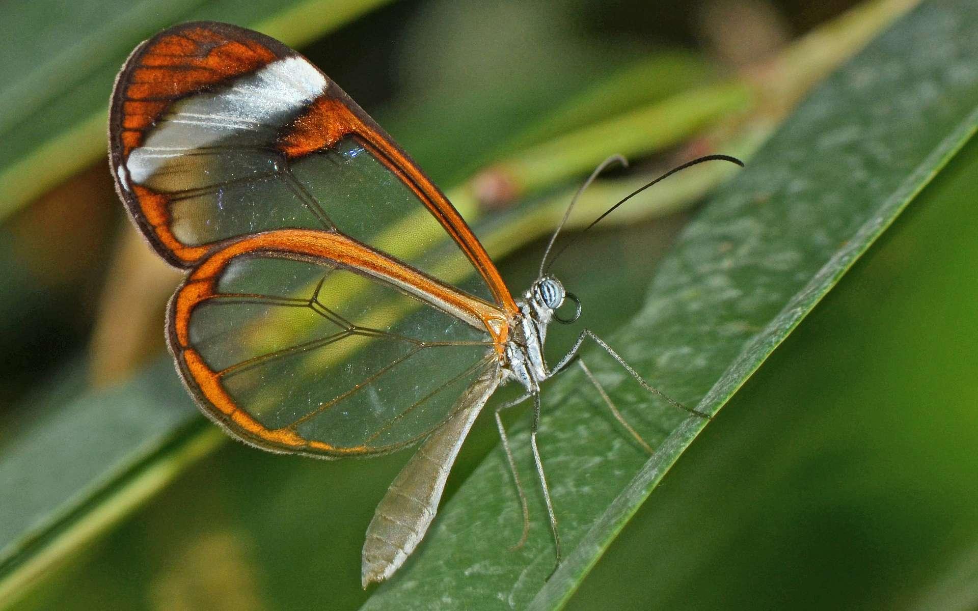 Le Greta Oto est un papillon dont les ailes sont transparentes aux longueurs d'onde du visible. © Alias 0591, Flickr, CC by 2.0