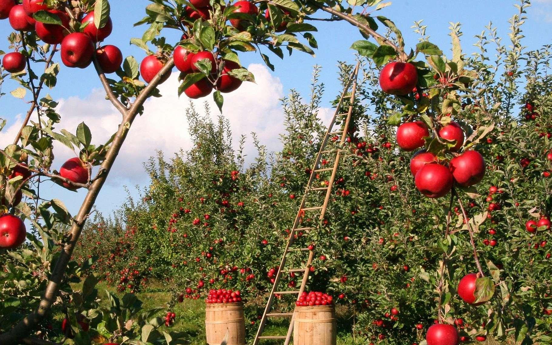 Des pommes à croquer. © Lumix2004, Pixabay, DP