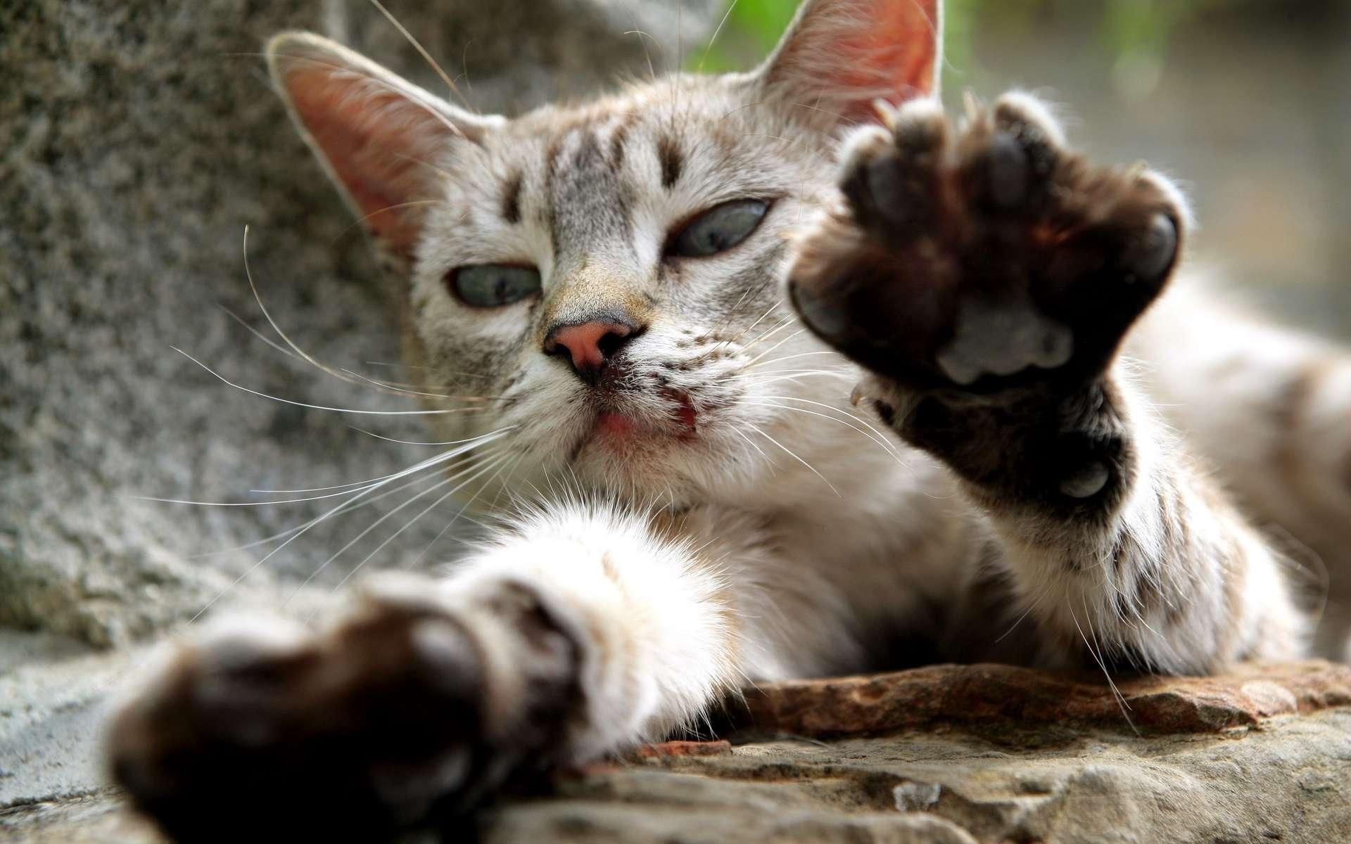 La transmission de la maladie des griffes du chat, ou bartonellose, se fait par griffure ou morsure © Phovoir