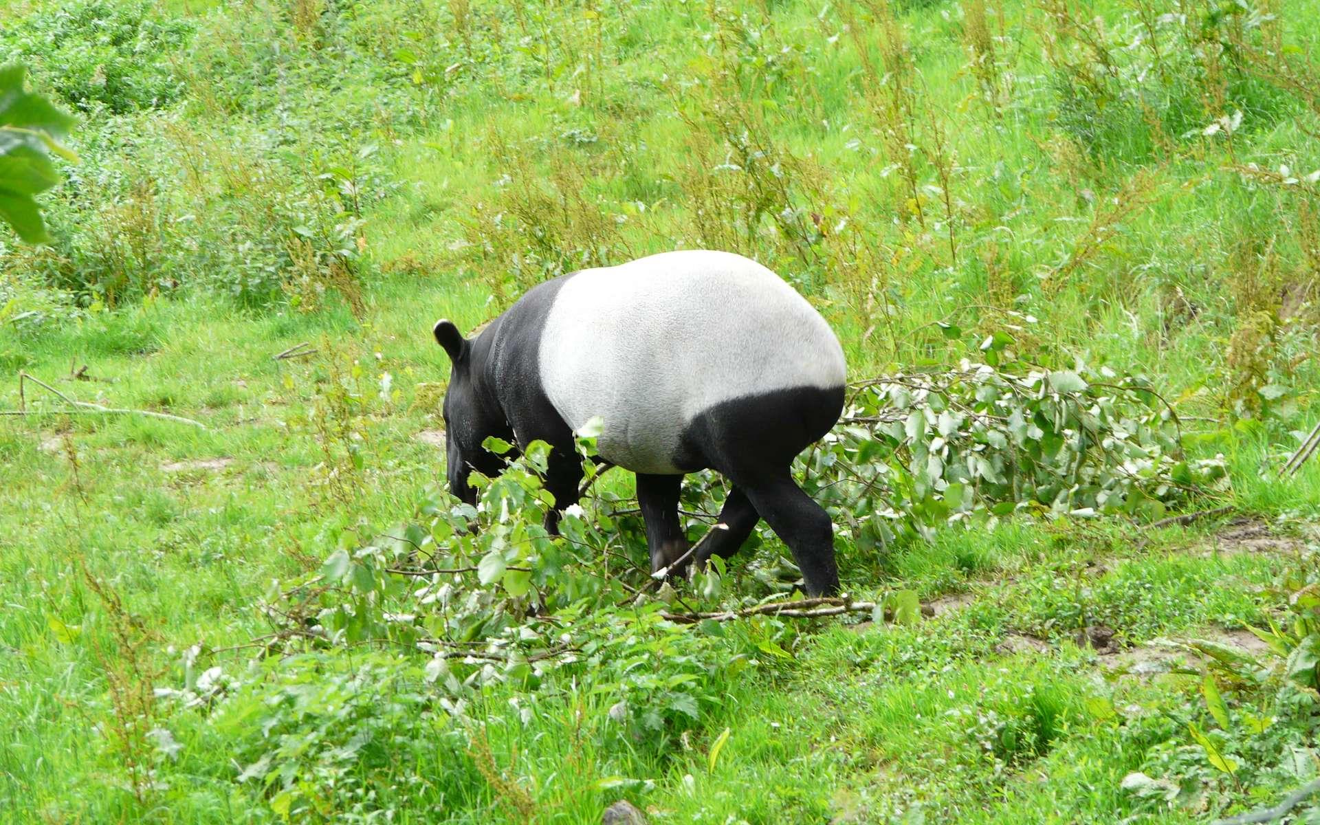 Le coloris bicolore du tapir de Malaisie sert au camouflage. Elle casse la silhouette de l'animal, ce qui lui permet d'échapper aux prédateurs. On retrouve la même tonalité de couleurs chez le panda géant. © Patrick Straub