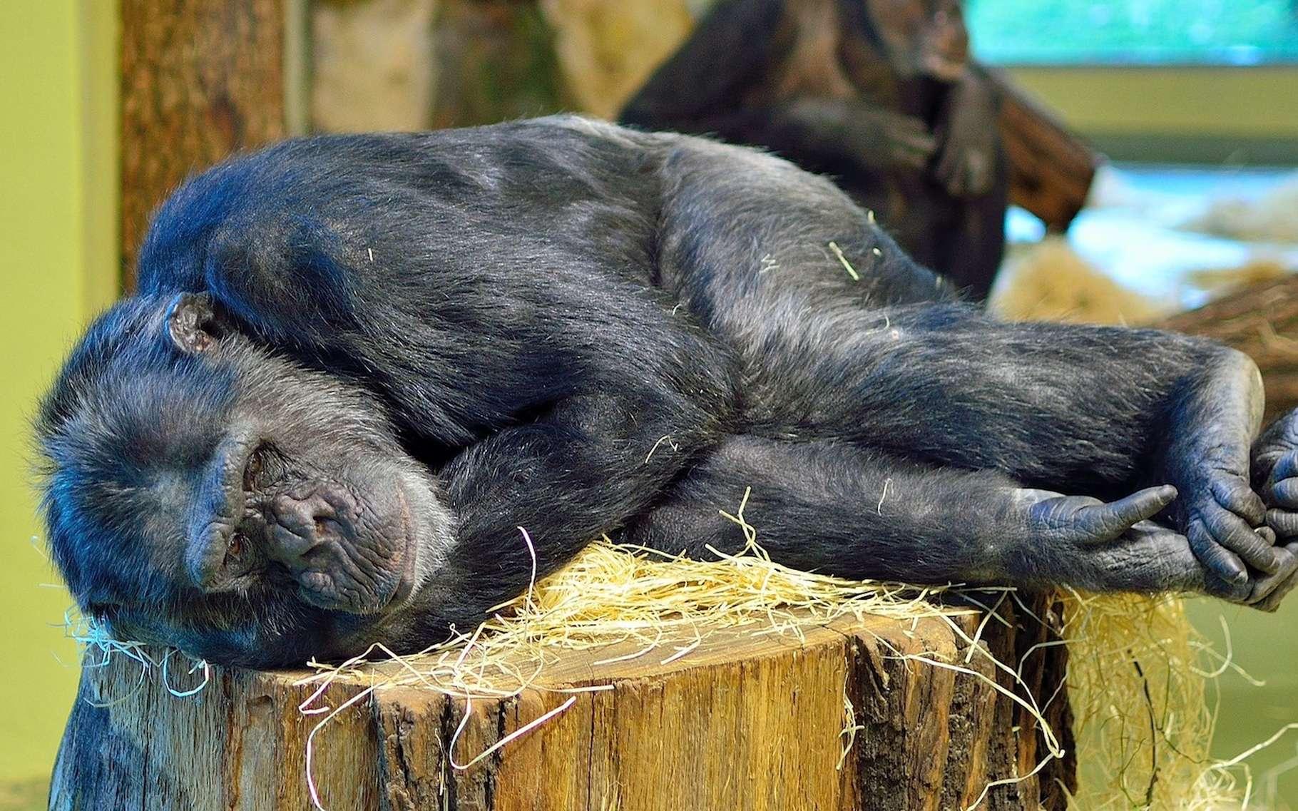 Les grands singes sont, avec l'homme, les seuls primates à faire leur lit. © Pictureman2014, Pixabay, CC0 Public Domain