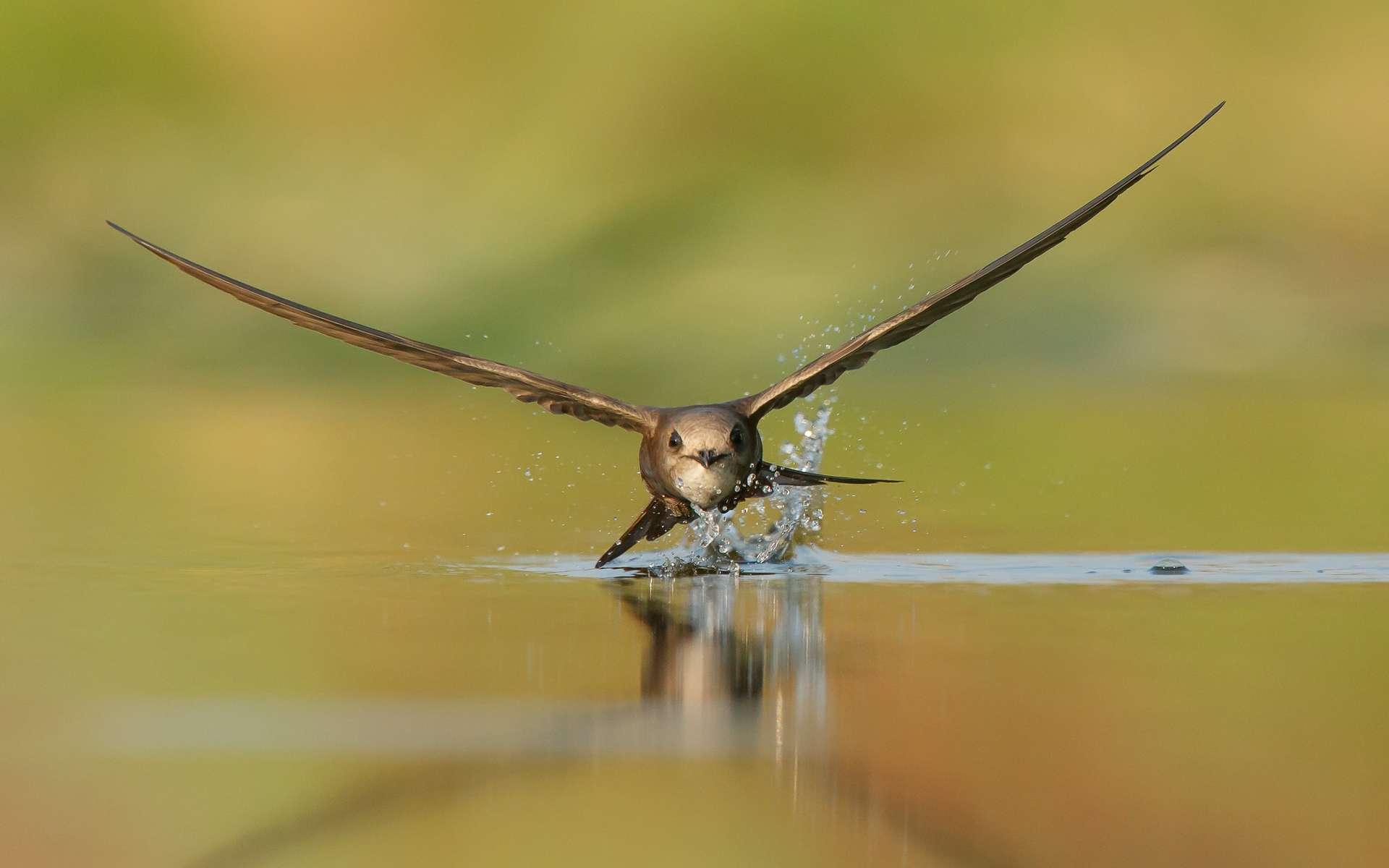 Martinet pâle (Apus pallidus), 2e gagnant catégorie « Oiseau en vol » du concours Bird Photographer of the Year. © Bird Photographer of the Year, Nikos Fokas (Grèce)