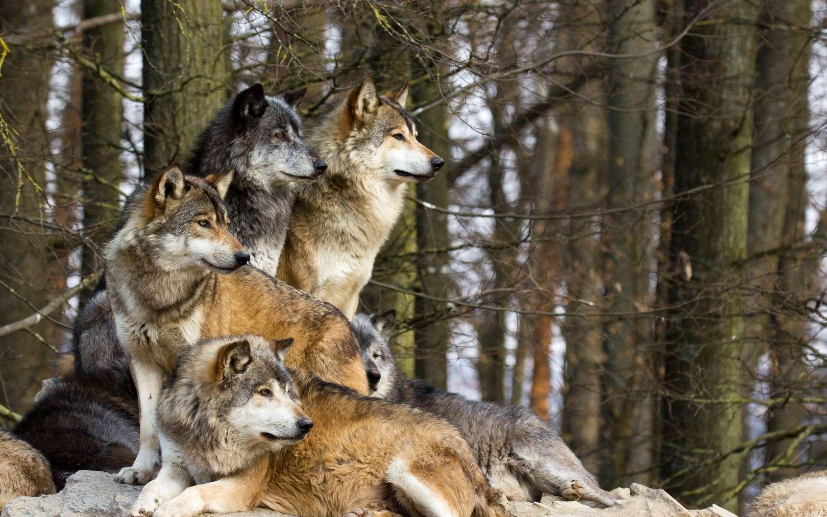 Où vivent les loups en France ? © Cloudtail, Fotolia