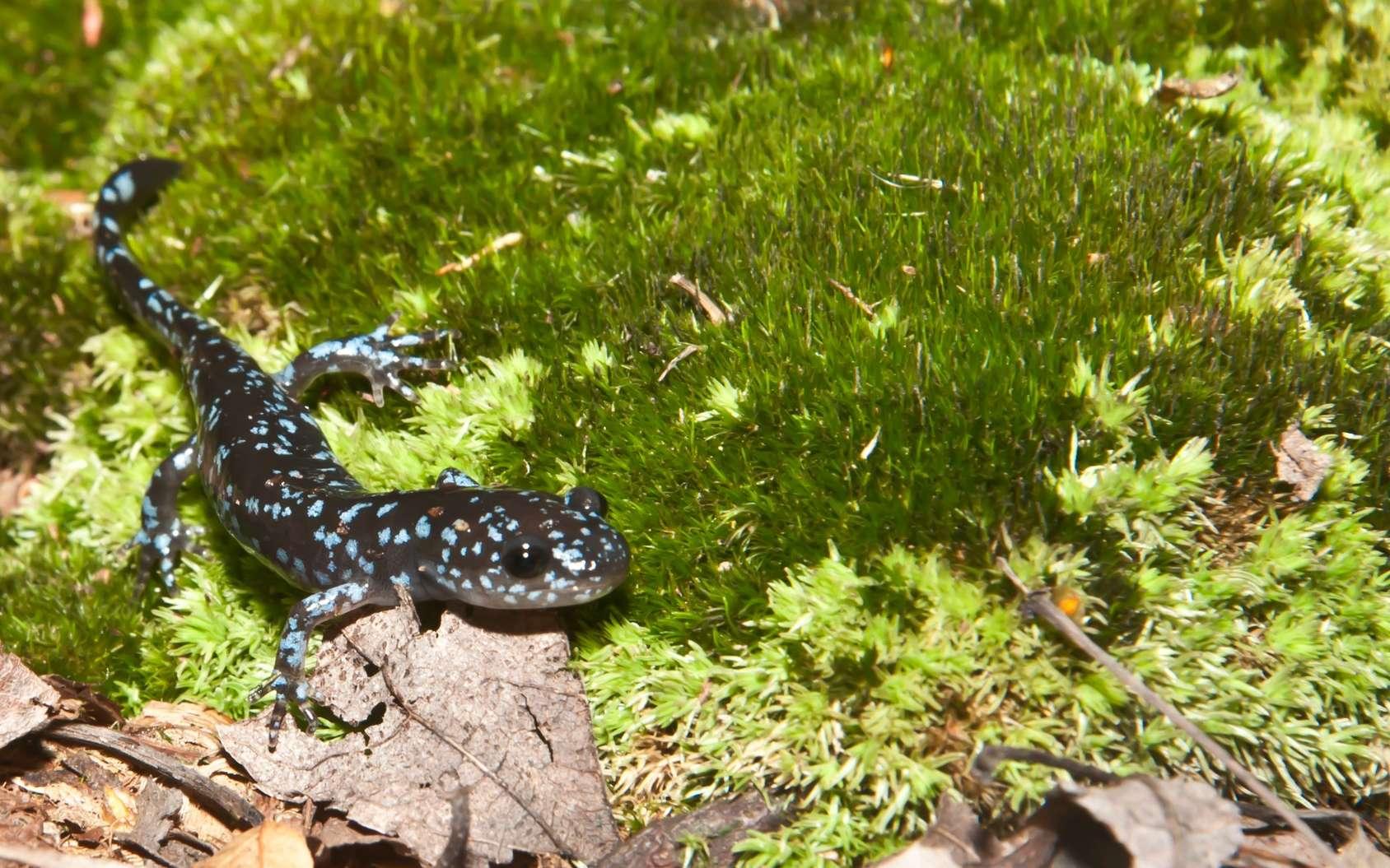 La salamandre à points bleus est l'une des espèces sexuées qui fournit des gènes à cette curieuse salamandre. © ondreicka, Fotolia