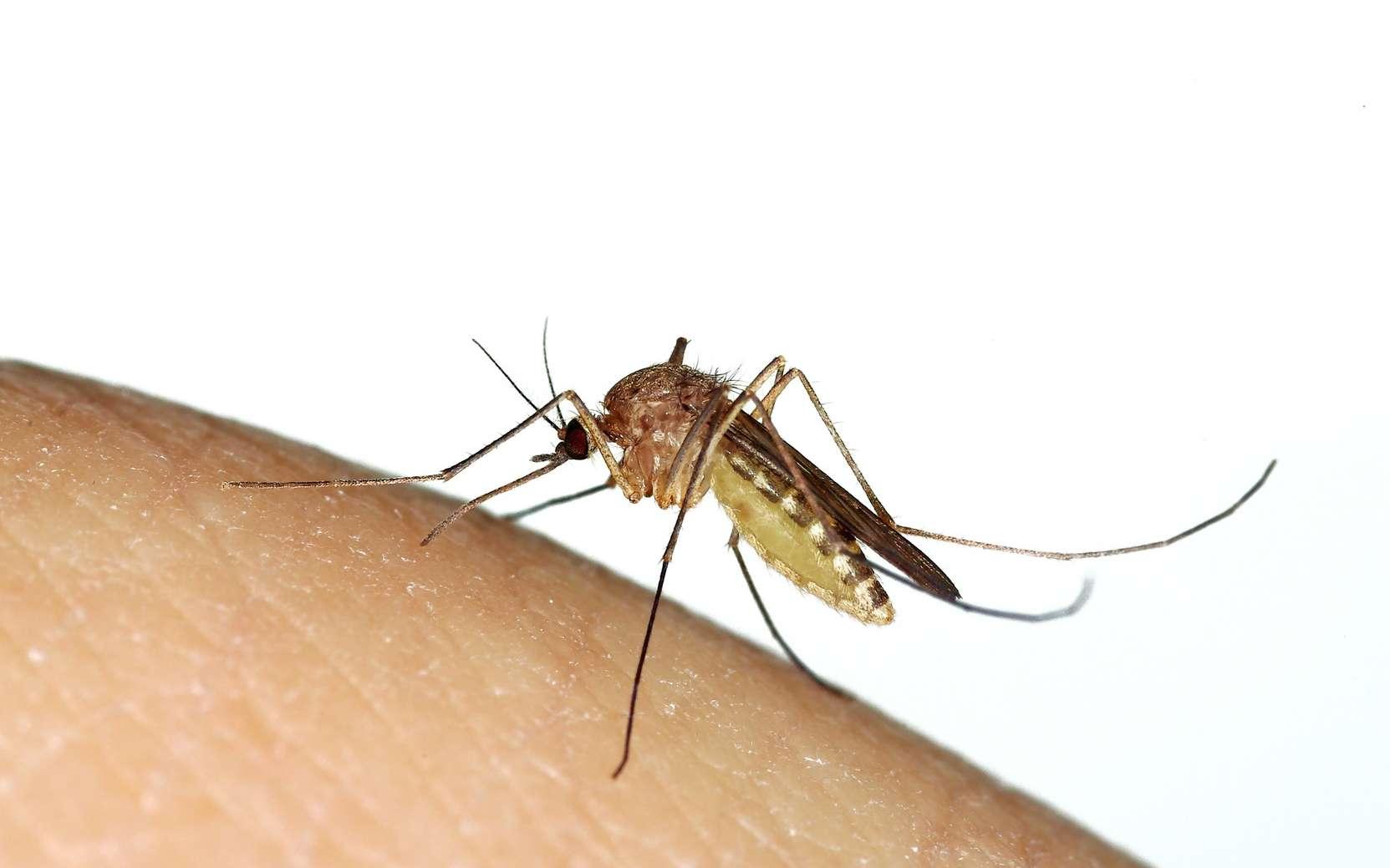Le virus de l'encéphalite japonaise est transmis par un moustique du genre Culex. © Marco Uliana, Fotolia