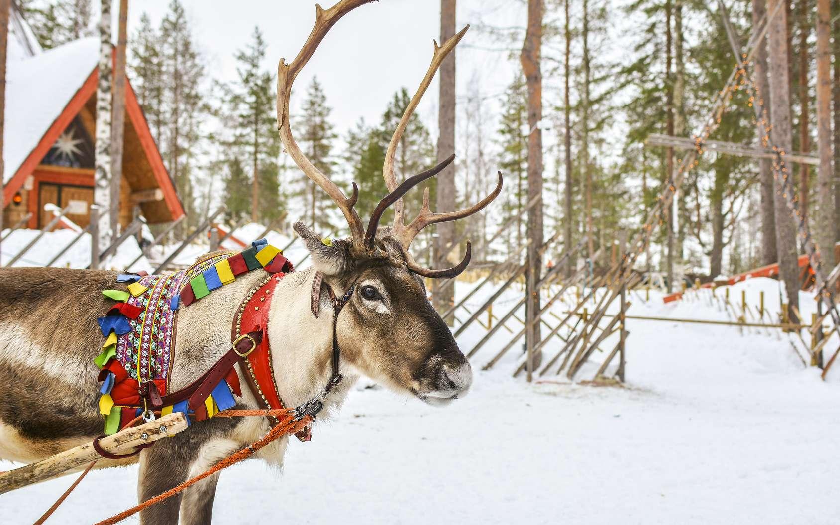 Les rennes tirent le traineau du père Noël. Les caribous, quant à eux, sont restés plus sauvages. © Medeya, Fotolia