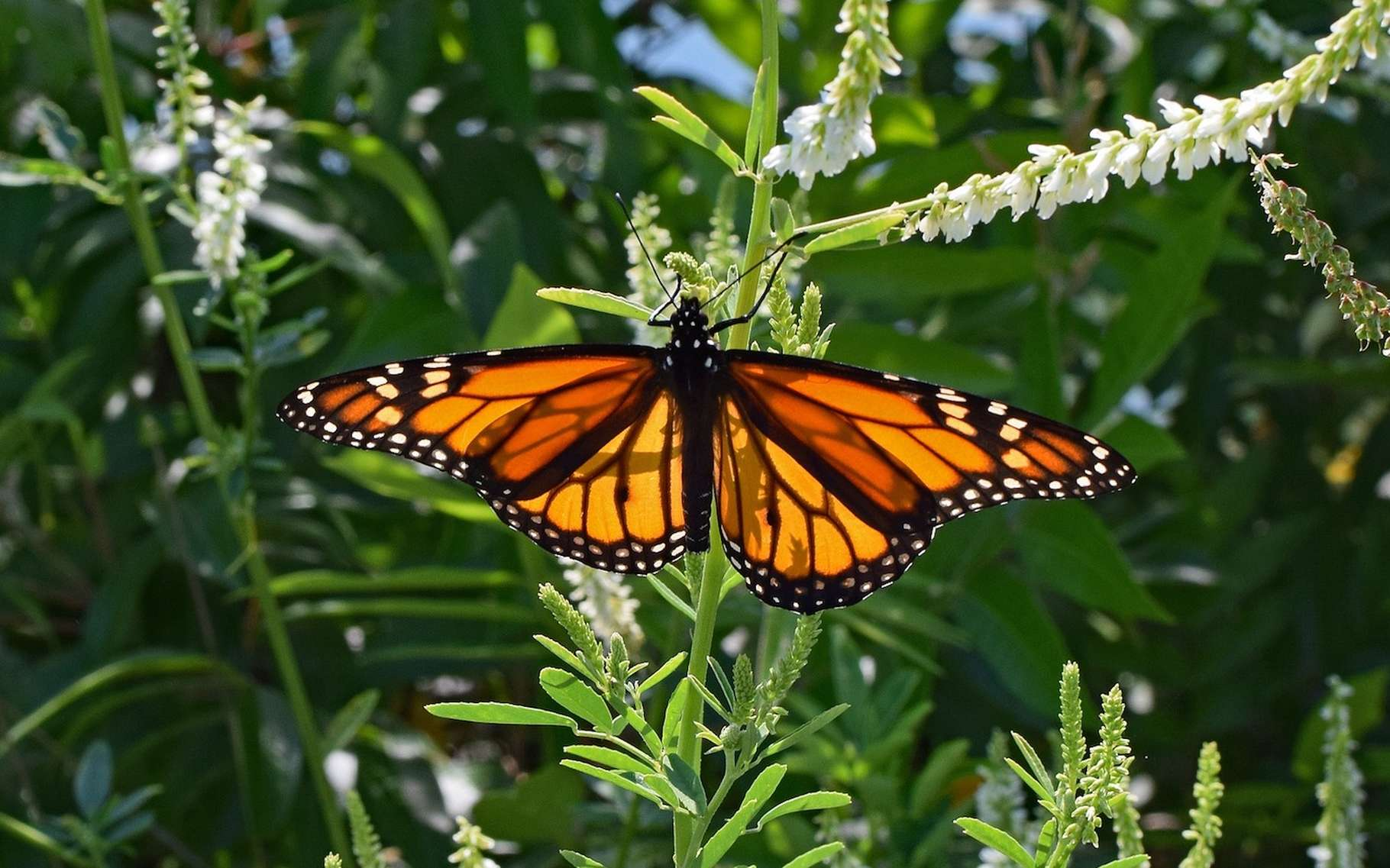 53 % des espèces de papillons ont disparu ces 10 dernières années. @leoleobobeo, Pixabay