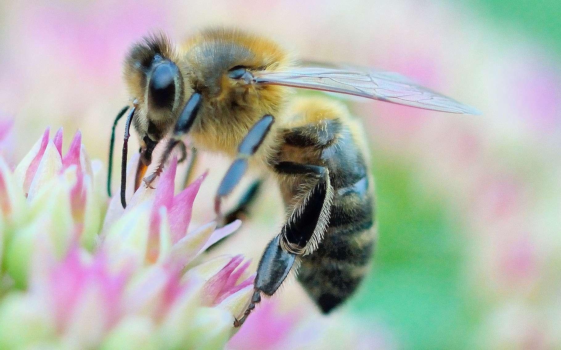 Lorsqu'elle pique un être humain, l'abeille se condamne sans le savoir à une mort certaine. © Bernard Ruelle, Flickr, CC by-nc-nd 2.0