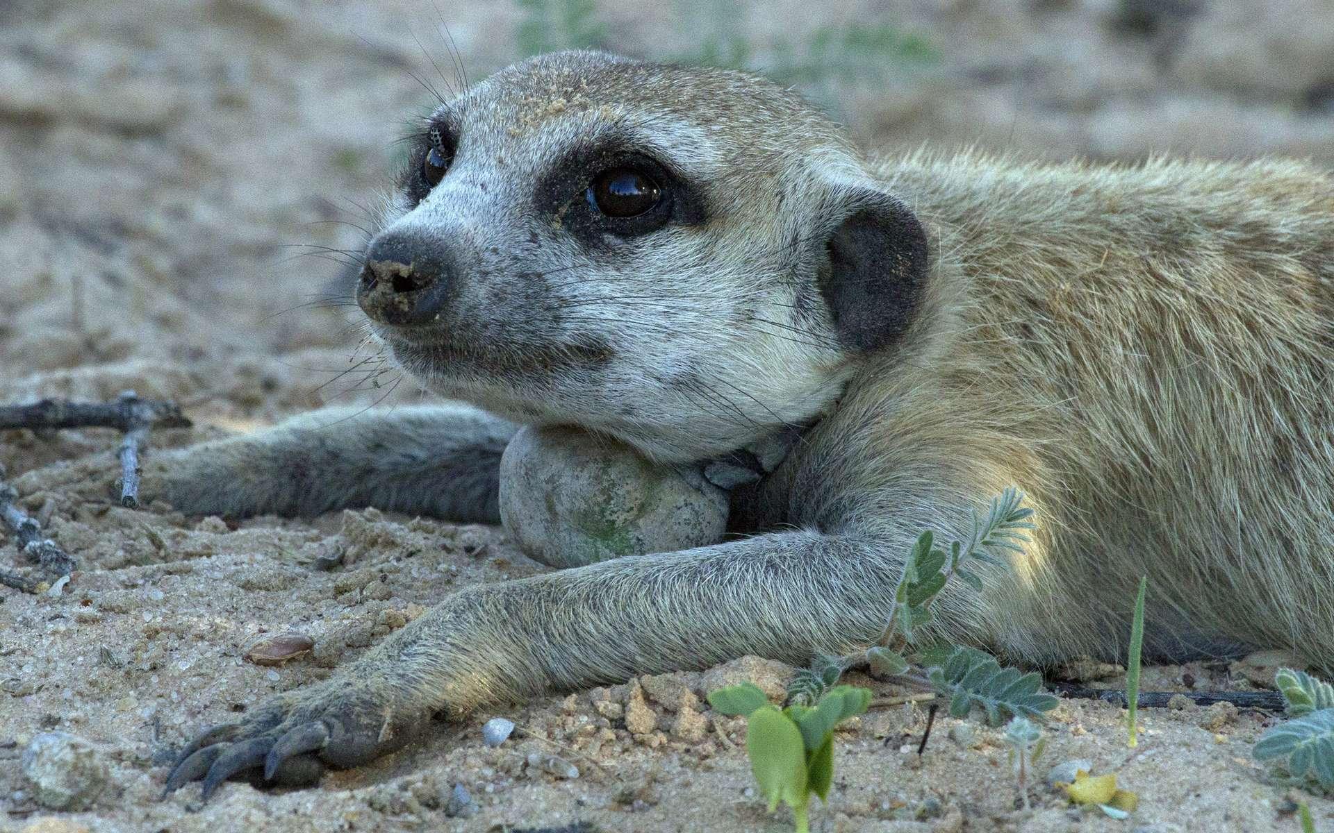 Ce suricate fait partie des photos récompensées par le BMC Ecology. © David Costantini, Muséum national d'histoire naturelle (MNHN)