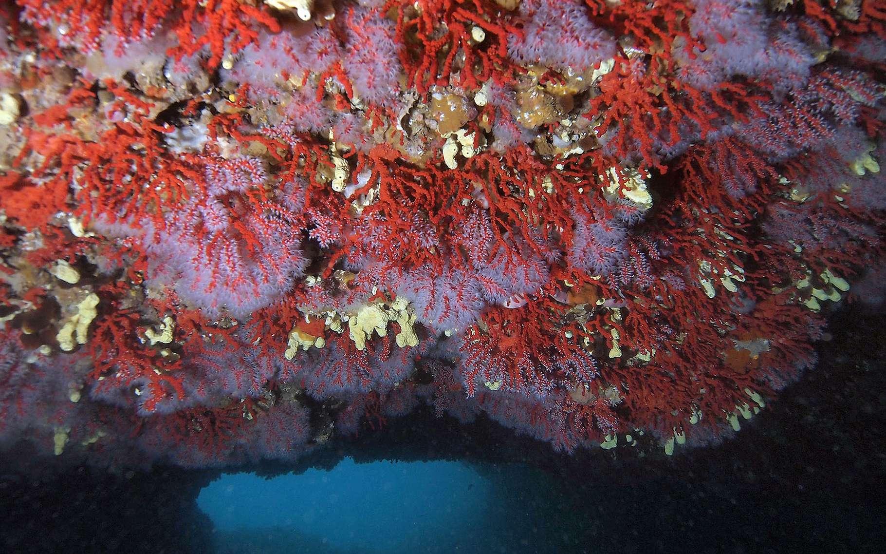 Le corail rouge est un étonnant organisme marin qui se trouve notamment en Méditerranée. © DR