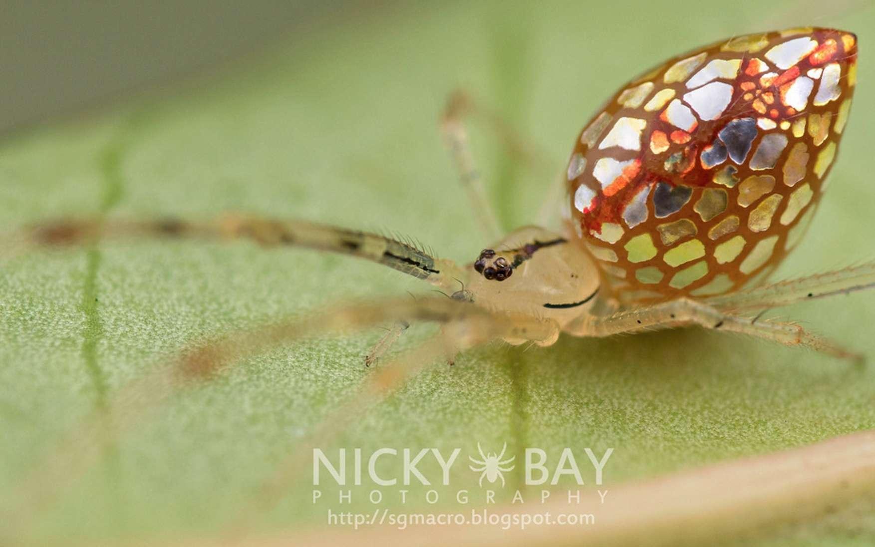 Non ce n'est pas du vitrail. Il s'agit de T. argentiopunctata, ou araignée-miroir, une impressionnante petite araignée qui vit sous les tropiques. Les petites plaques argentées qui couvrent son abdomen sont peut-être constituées de guanine. © Nicky Bay, tous droits réservés