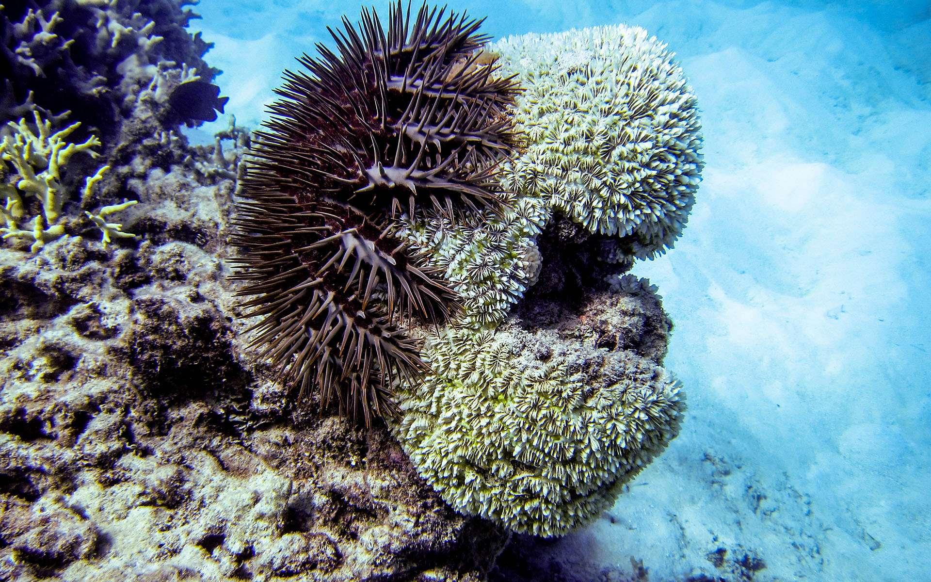 Une ancasthater pourpre qui s'attaque à du corail. © Ryan McMinds, Creative Commons Attribution 2.0 Generic