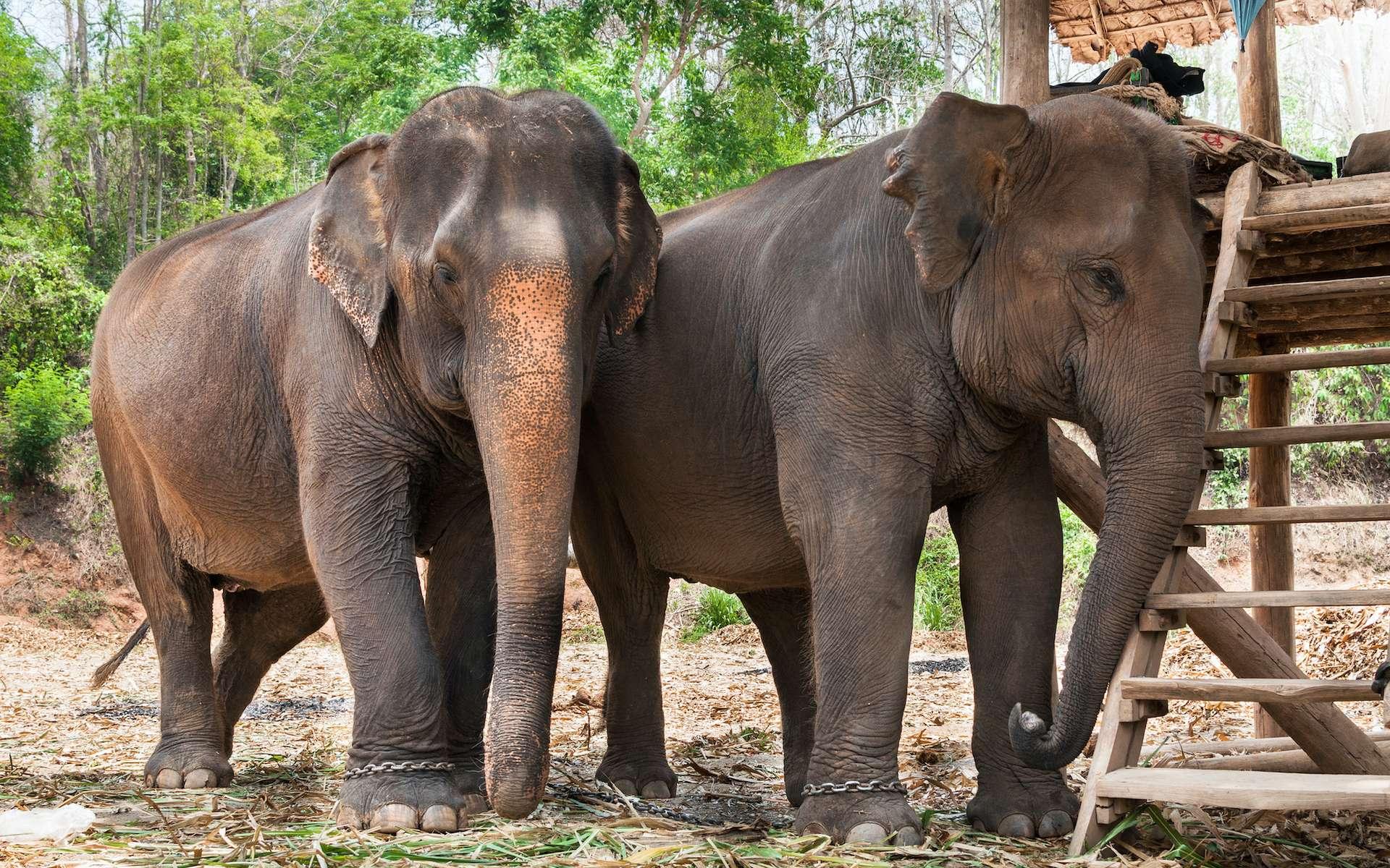 Thaïlande : plus de 1.000 éléphants menacés par la faim à cause du confinement