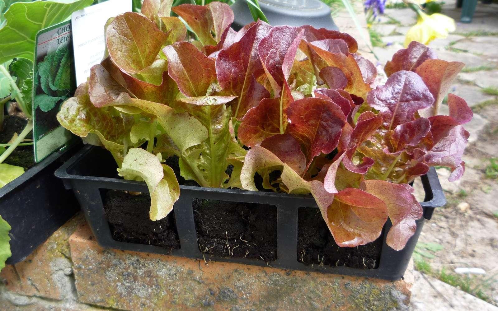 Barquette de minimottes de salades, prêtes à être plantées. © S. Chaillot