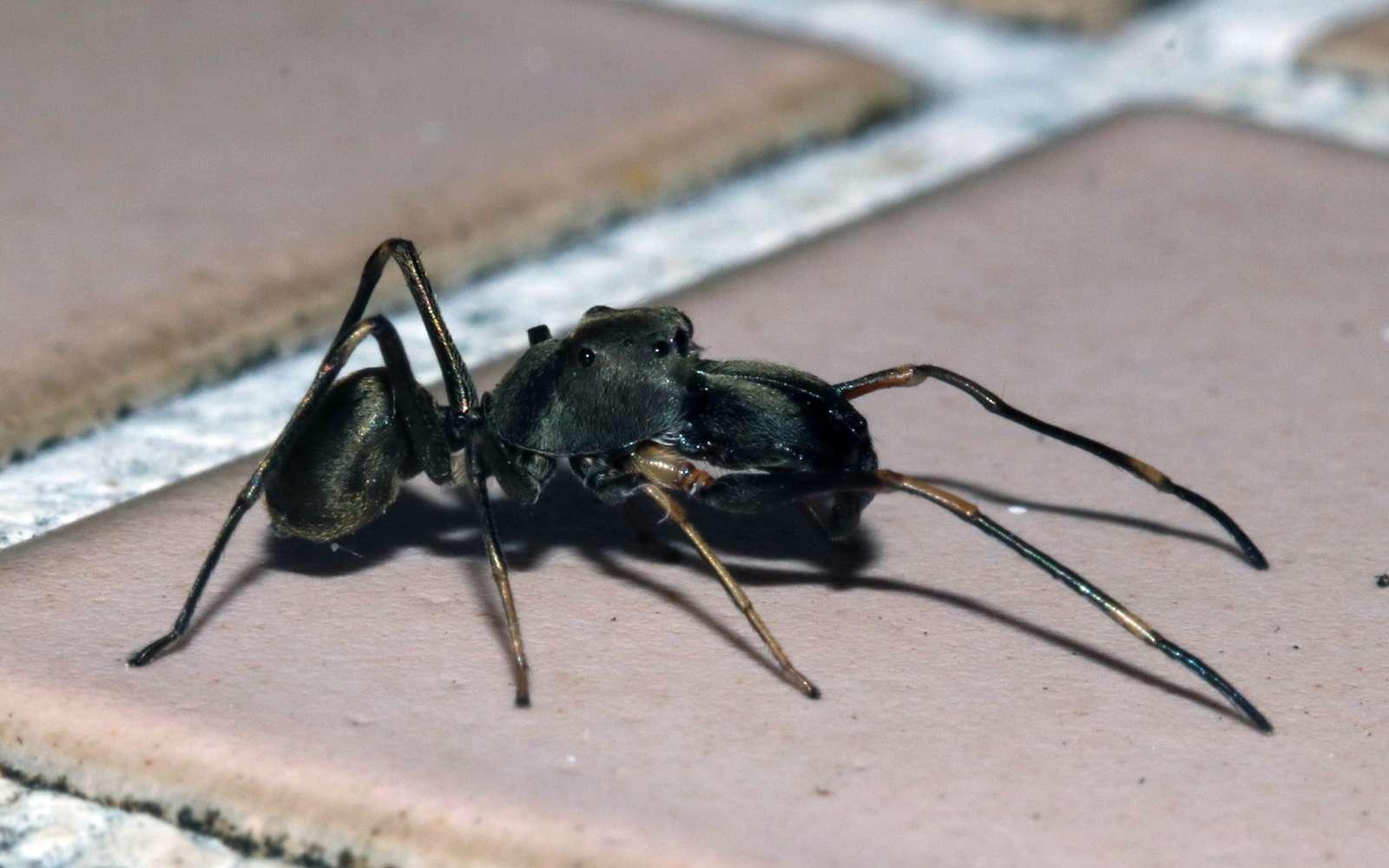Une araignée sauteuse qui nourrit ses bébés avec du lait comme les mammifères. © hokoonwong, iNaturalist, CC by-sa
