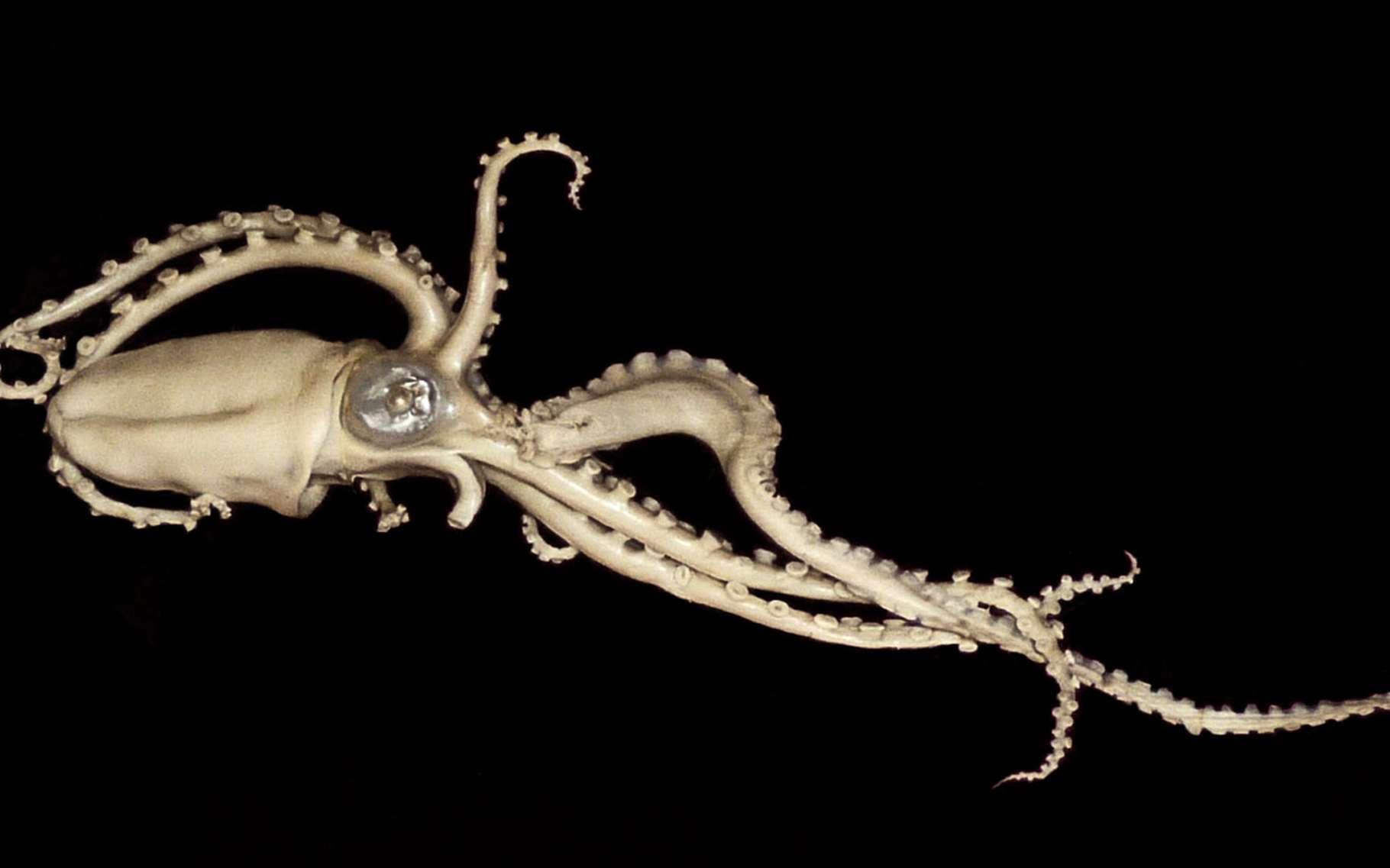 Ocythoe tuberculata. © Citron, Wikimedia commons, CC by-sa 3.0