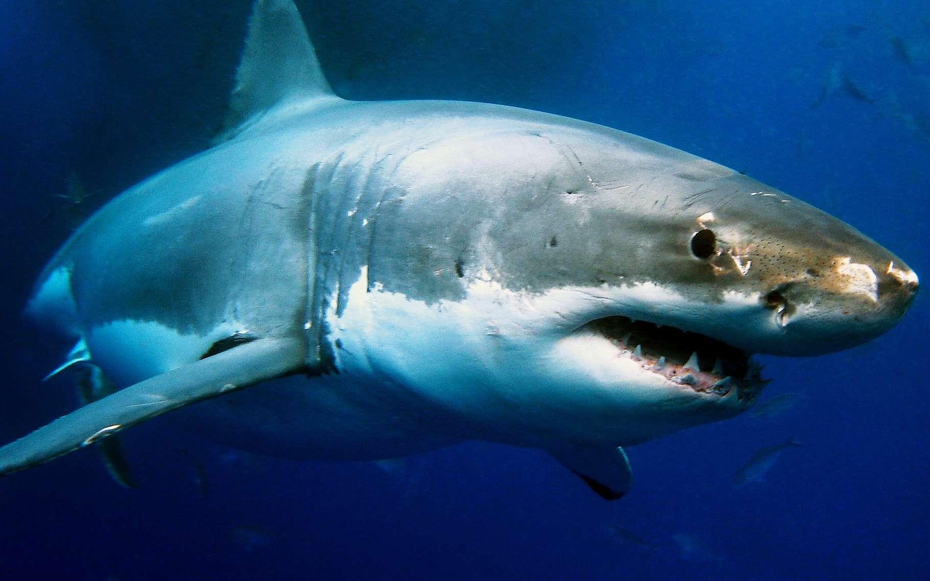 Les requins seraient peut-être plus appréciés du public s'ils étaient présentés avec des fonds musicaux moins inquiétants dans les reportages. © Alexius Sutandio, Shutterstock