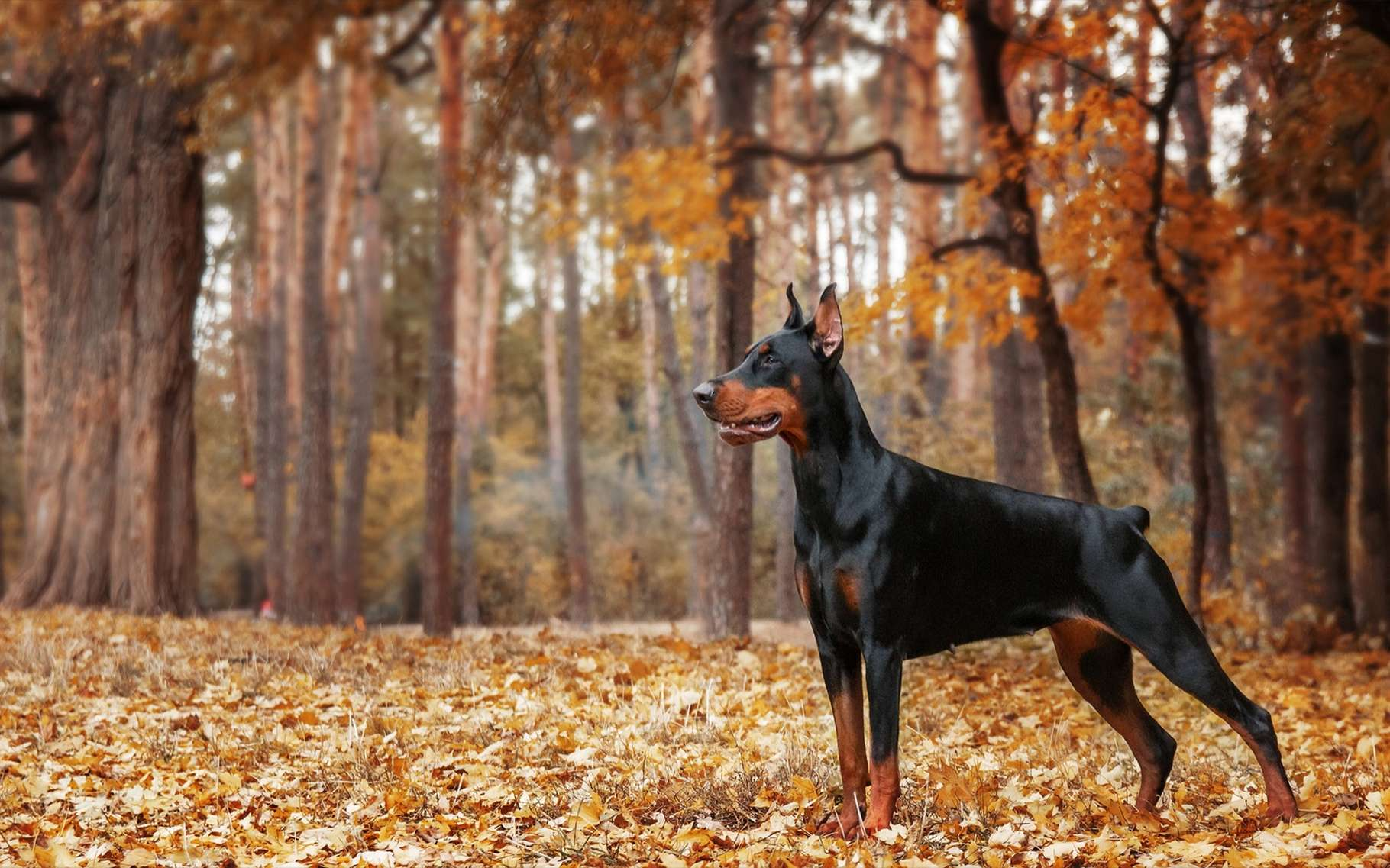 Le doberman est avant tout un chien de garde. © OlgaOvcharenko, Shutterstock
