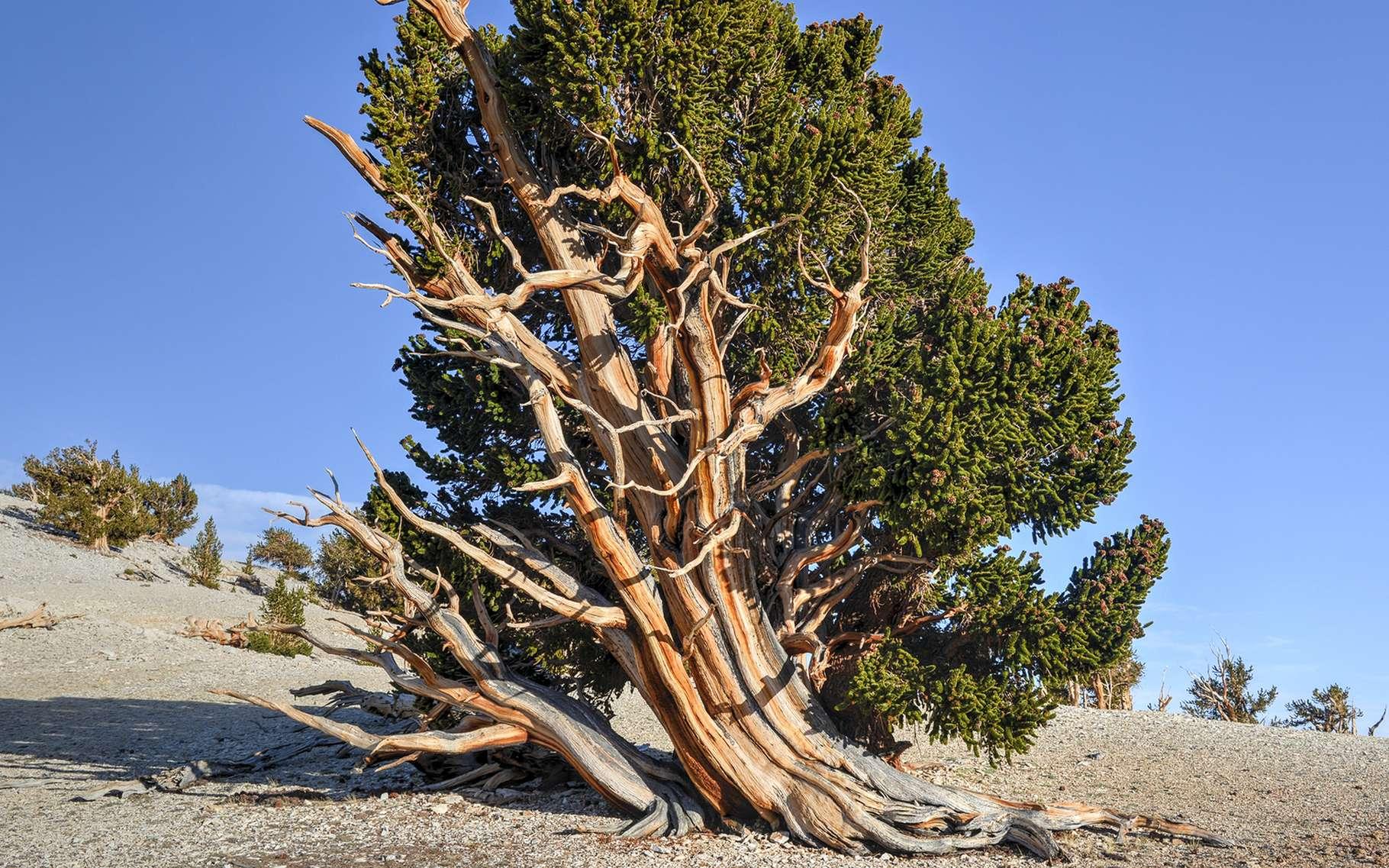 Un pin de Bristlecone (Pinus longaeva) dans les montagnes blanches en Californie. Le plus vieux spécimen connu avait 5.062 ans en 2013. © Felix Lipov, Shutterstock
