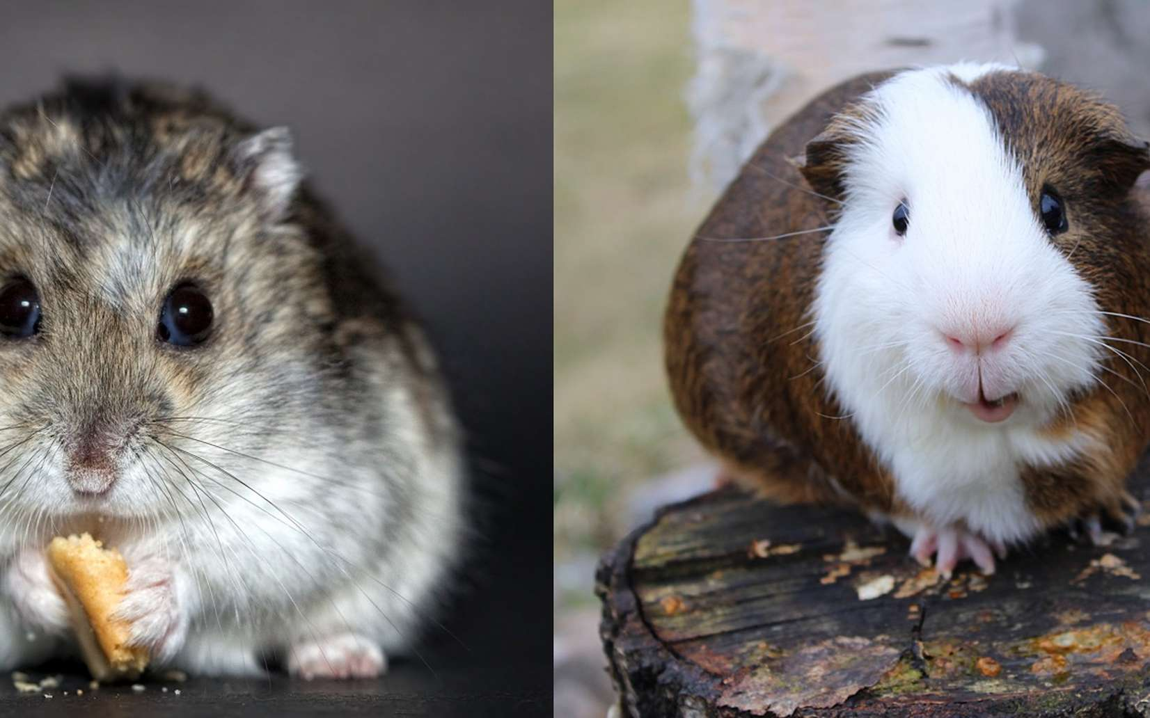 Hamster Cobaye Cochon D Inde Quelle Difference