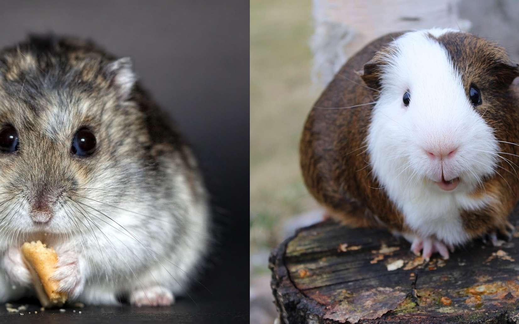 Le cochon d'Inde est beaucoup plus gros que le hamster. © Christine Trexer, Pixabay/Andy Miccone, Flickr