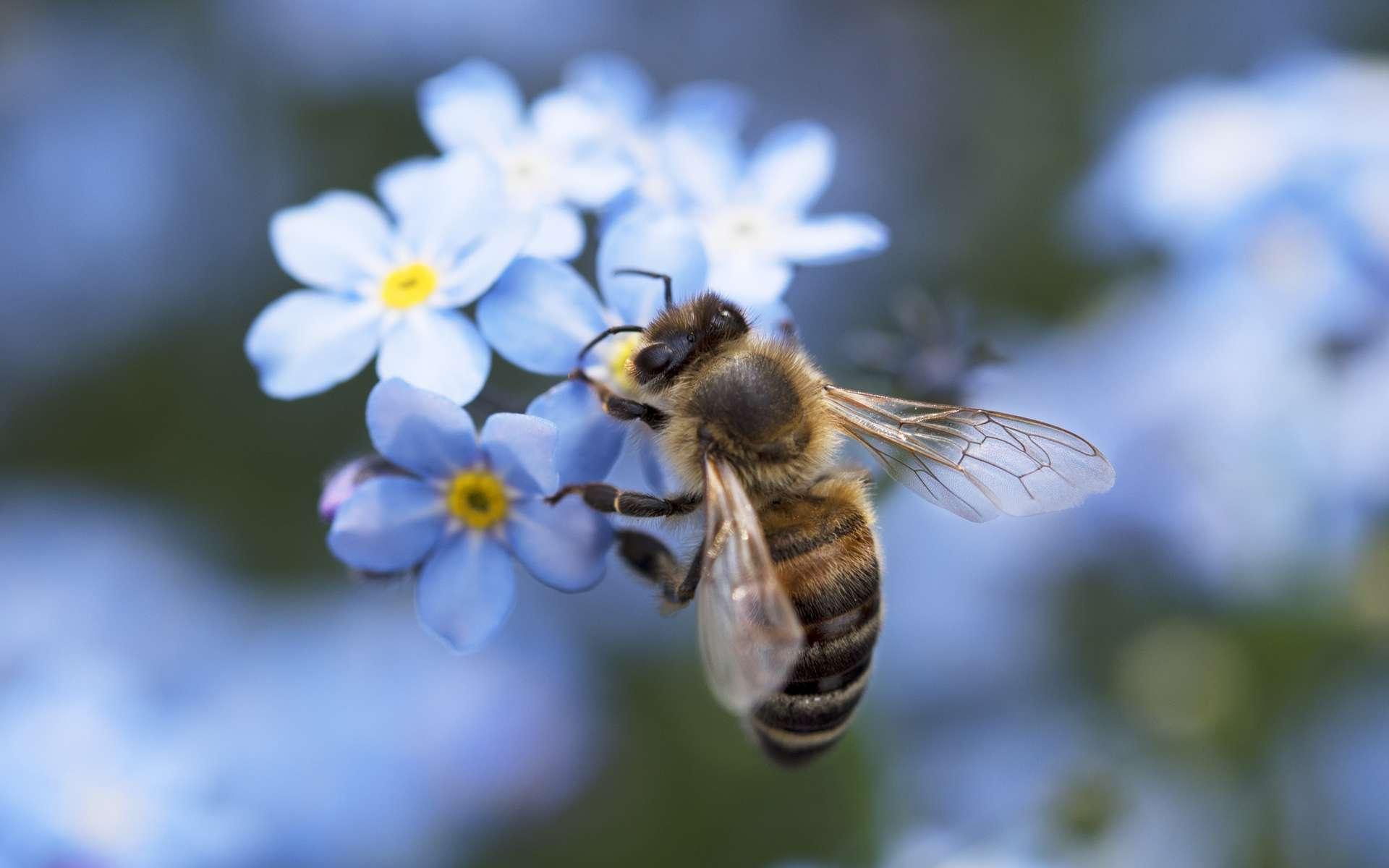 Il existe plus de plus 20.000 espèces d'abeilles. © Spatzenballet, Adobe Stock