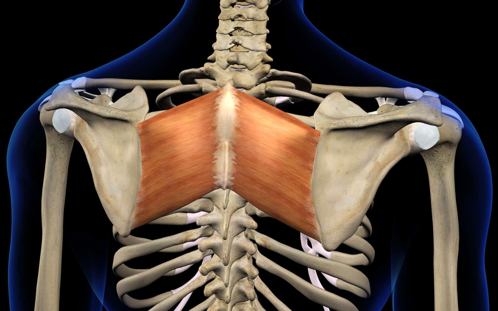 Le rhomboïde est un muscle du dos qui sert à stabiliser les mouvements de l'épaule. © HANK GREBE, Adobe Stock