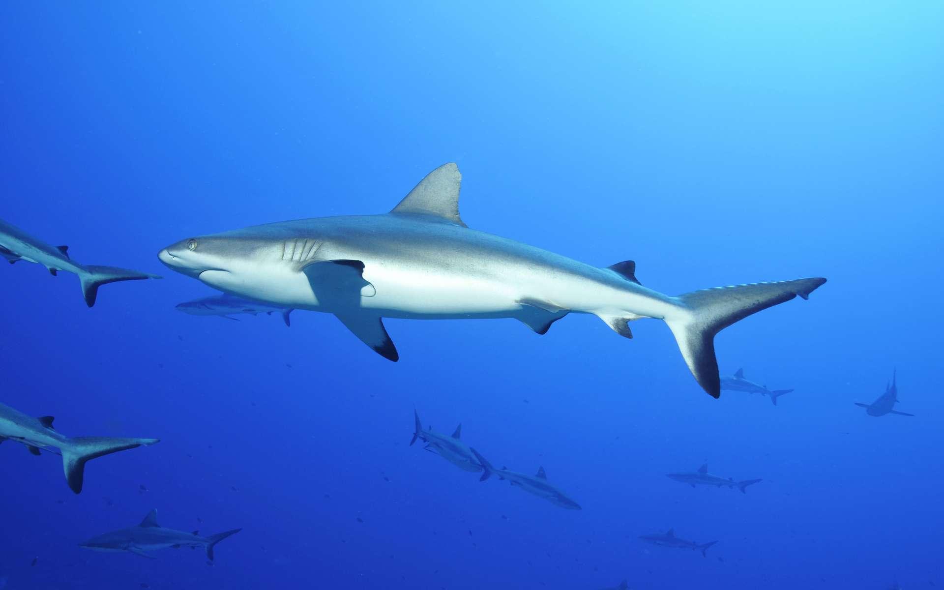 Les cinq cents requins gris de récif nagent paisiblement dans la passe de Fakarava. © dieter76, Adobe Stock