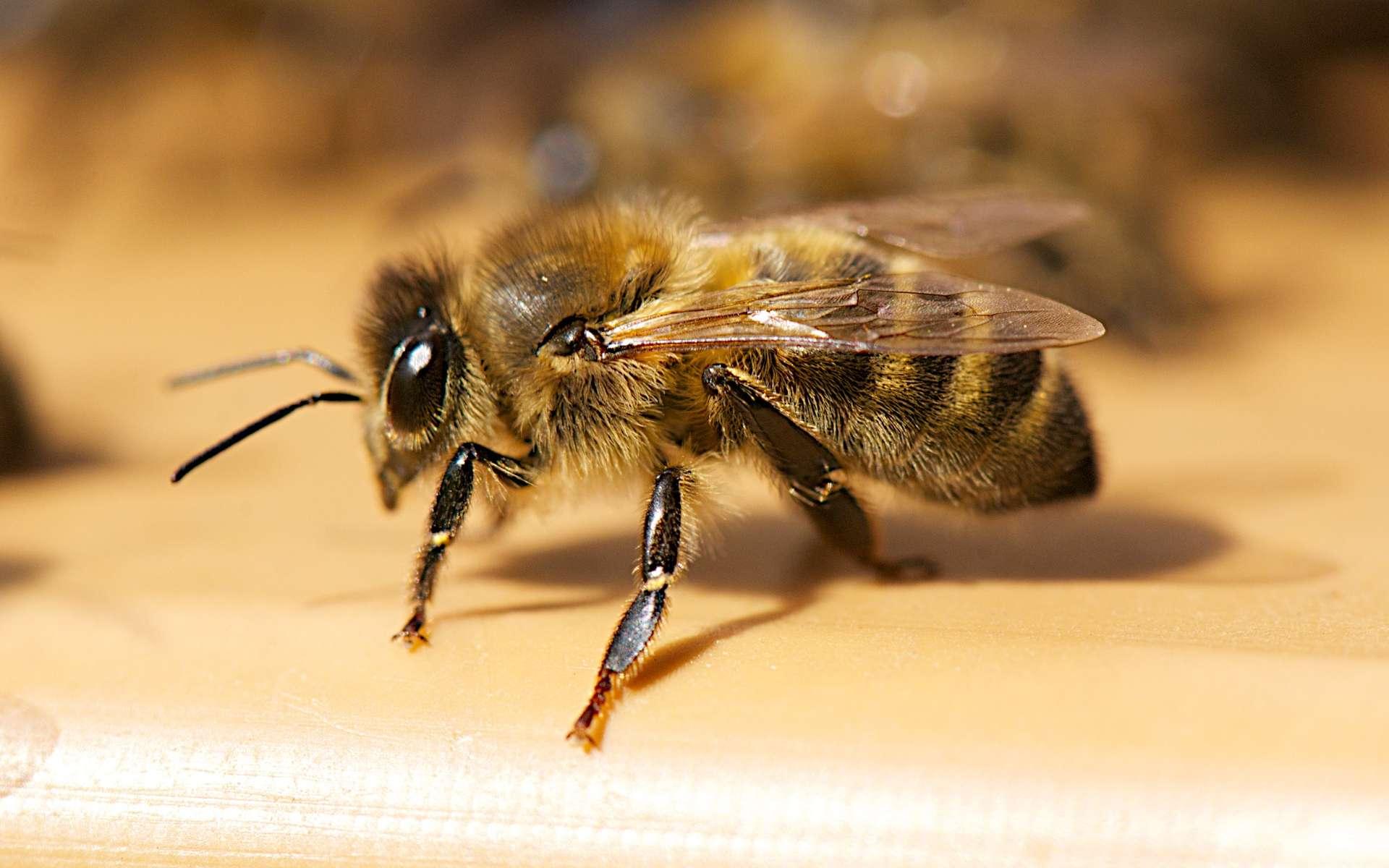Les recherches sur l'intelligence des abeilles montrent l'aptitude de ces insectes à résoudre des tâches de discriminations complexes. Ici Apis mellifera ou abeille noire. © melliifica.be, CC by-nc-nd