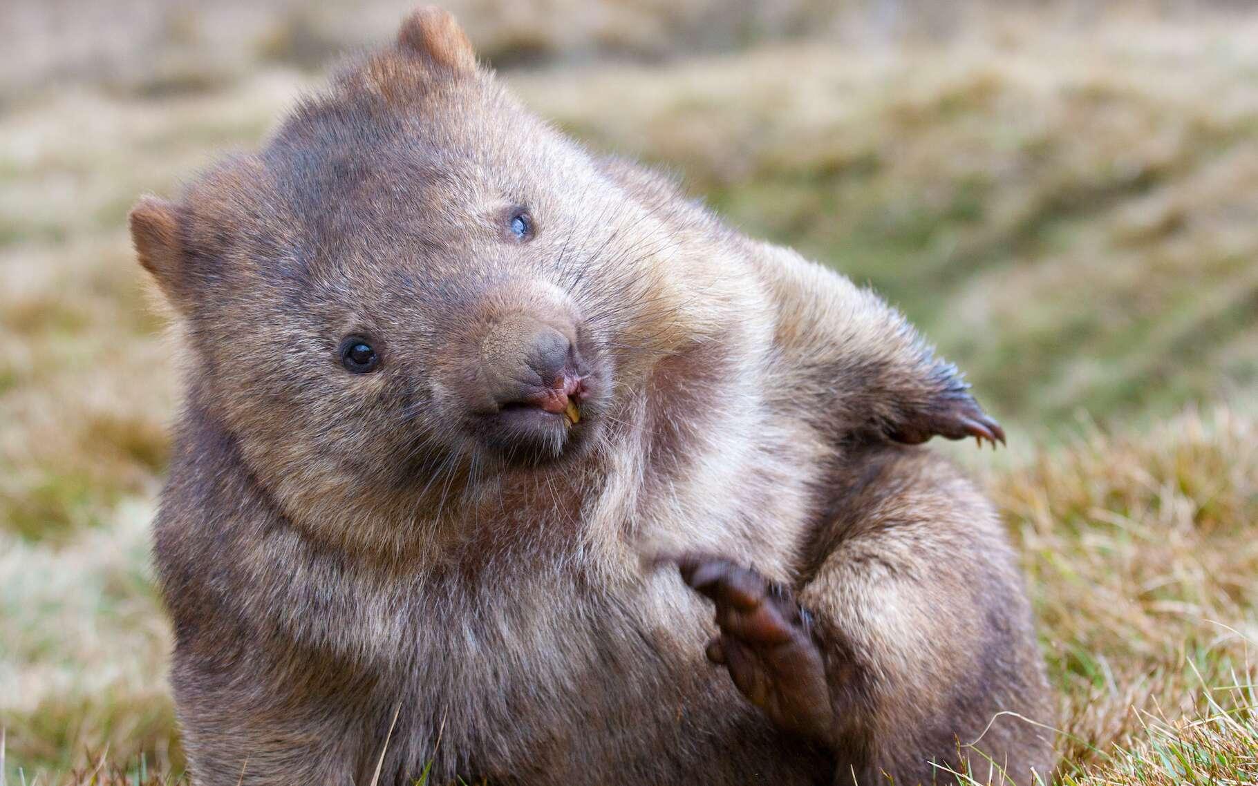 Les wombats sont des marsupiaux étonnants. Ils font des crottes cubiques. Et maintenant qu'ils ont compris comment, les chercheurs envisagent de s'en inspirer. © Baltazar, Adobe Stock