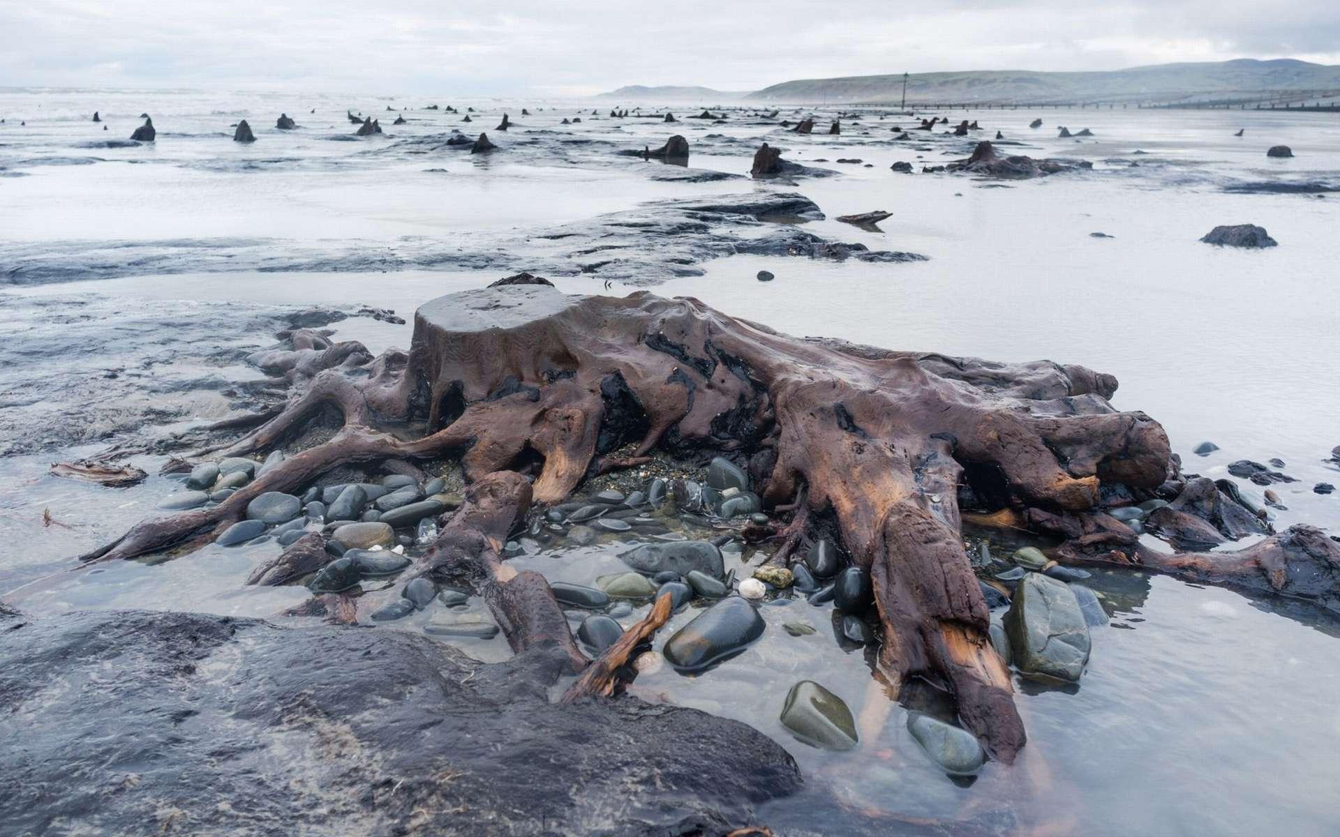 Une forêt préhistorique émerge sur une plage du Pays de Galles. © Welsh photographs
