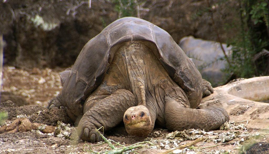 http://www.futura-sciences.com/uploads/tx_oxcsfutura/George-Tortue-Galapagos_putneymark-Flickr_03.jpg