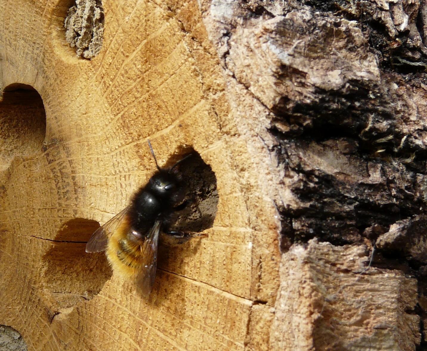 Un hôtel à abeilles sauvages Osmie5_Osmia_rufa_alveole2