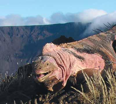 Rosada sur le volcan Wolf. Crédit: Gabriele Gentile/PNAS