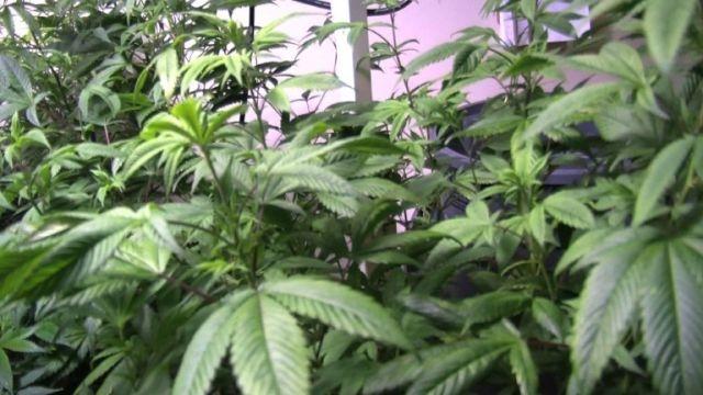 cannabis-plants_AFP.jpg