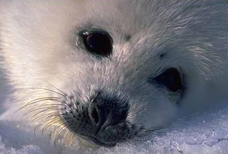 IMPORTANT: Pétition contre le massacre de phoques Harp