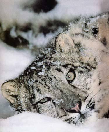 leopardneige.jpg