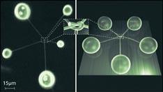 Ces nanotubes forment le plus petit et le plus simple des noeuds : un noeud de trèfle.<br />© Chalmers Tech.Univ/I.Curie