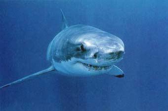 les gens m'énervent!! (enfin pas tous ;-)  ) Requin-caro
