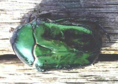 Le scarabée cétoine doit ses belles couleurs irisées à l'organisation en phase cristal liquide cholestérique des molécules de chitine de la partie supérieure de sa carapace.<br />© CNRS-CEMES 2006