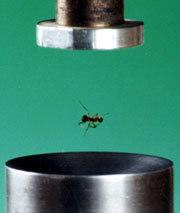 La lévitation acoustique fait voler les fourmis 061127-6