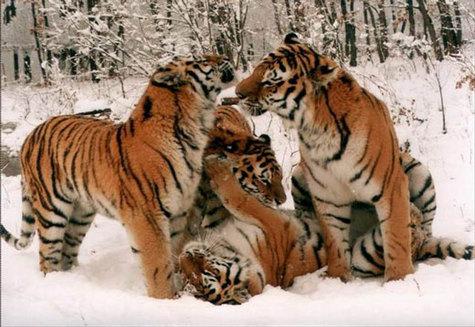 http://www.futura-sciences.com/uploads/tx_oxcsfutura/img/tigre2_ifaw.jpg